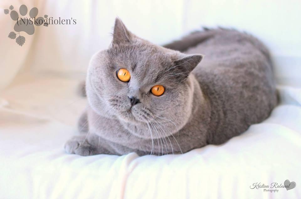 N)Skogfiolen's - British Shorthair cats (N)Skogfiolen's